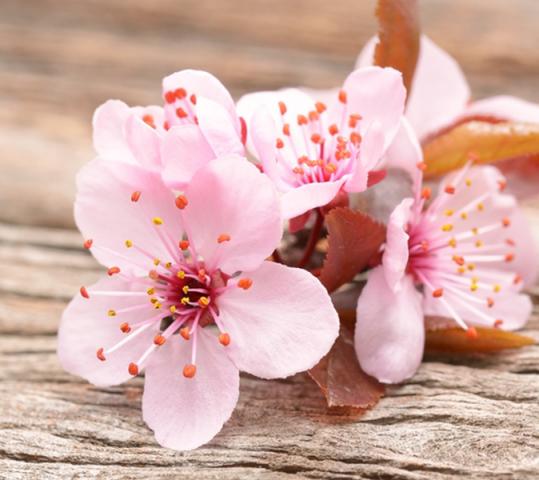 Manfaat Bunga Sakura untuk Kesehatan Kulit