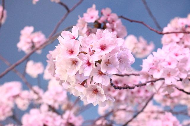 khasiat bunga sakura untuk kulit